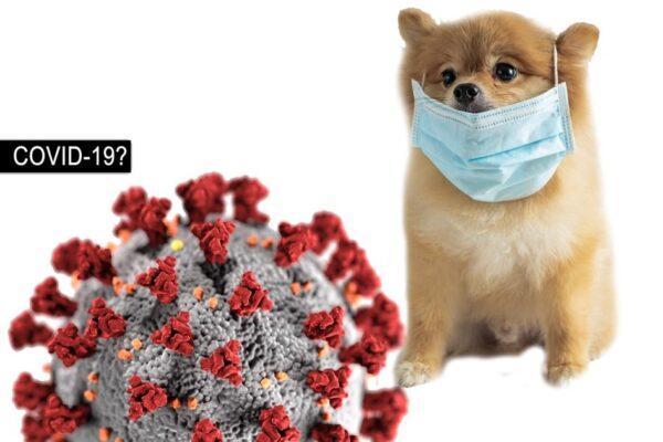 Coronavirus COVID-19 Dog