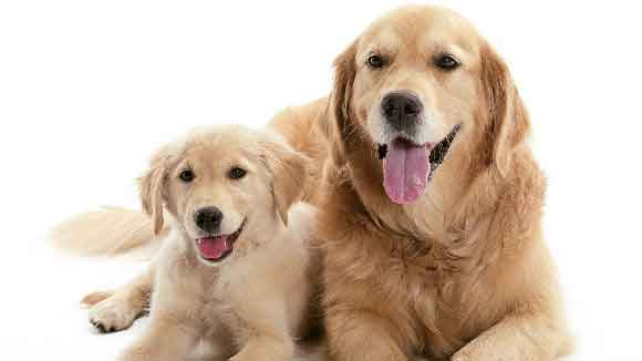 The Myth About Linseed (flaxseed) Oil And Breeding Dogs