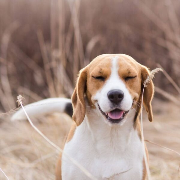 Grass Allergy in dogs