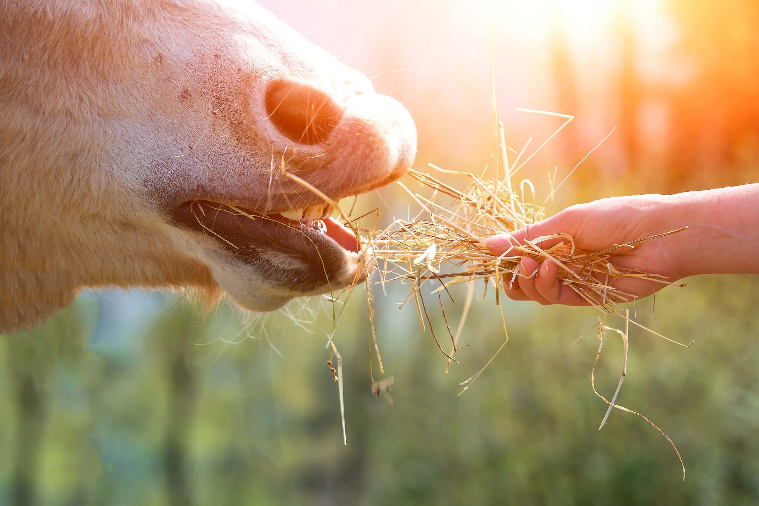 horse eating hay - CEN Nutrition Fibre Article