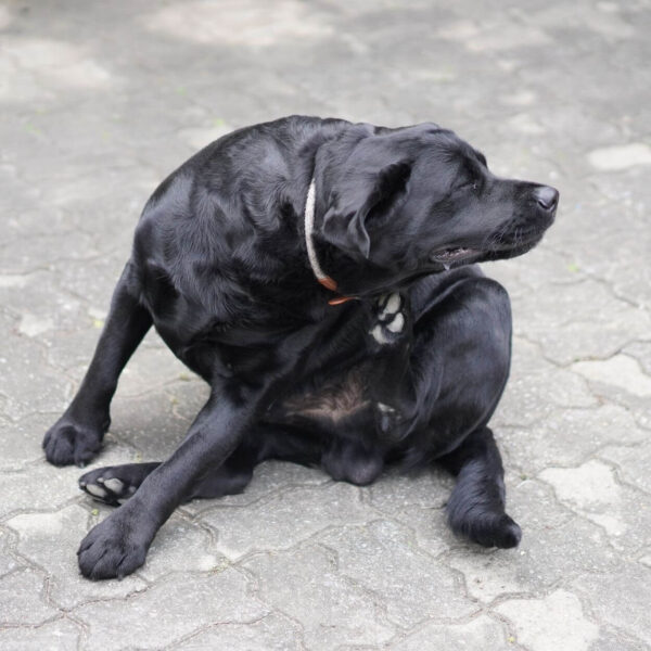 Itchy Skin in Dogs
