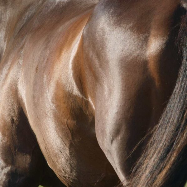 SKELETAL MUSCLE TISSUE AND ITS RESPONSES TO EXERCISE TRAINING IN PERFORMANCE HORSES