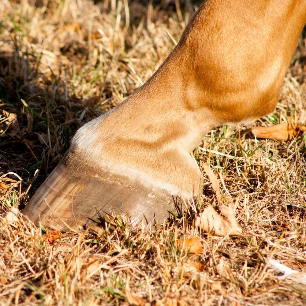 Nutrition and Laminitis in horse CEN Nutrition Article
